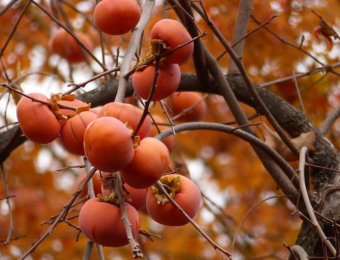 Ripe persimmon fruits on tree bare of leaves