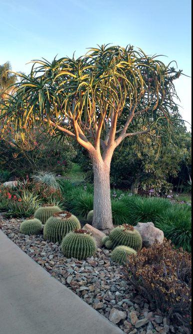 árbol de aloe con paisajismo suculento