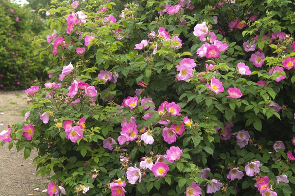 Gallica splenden rose bush with pink flowers