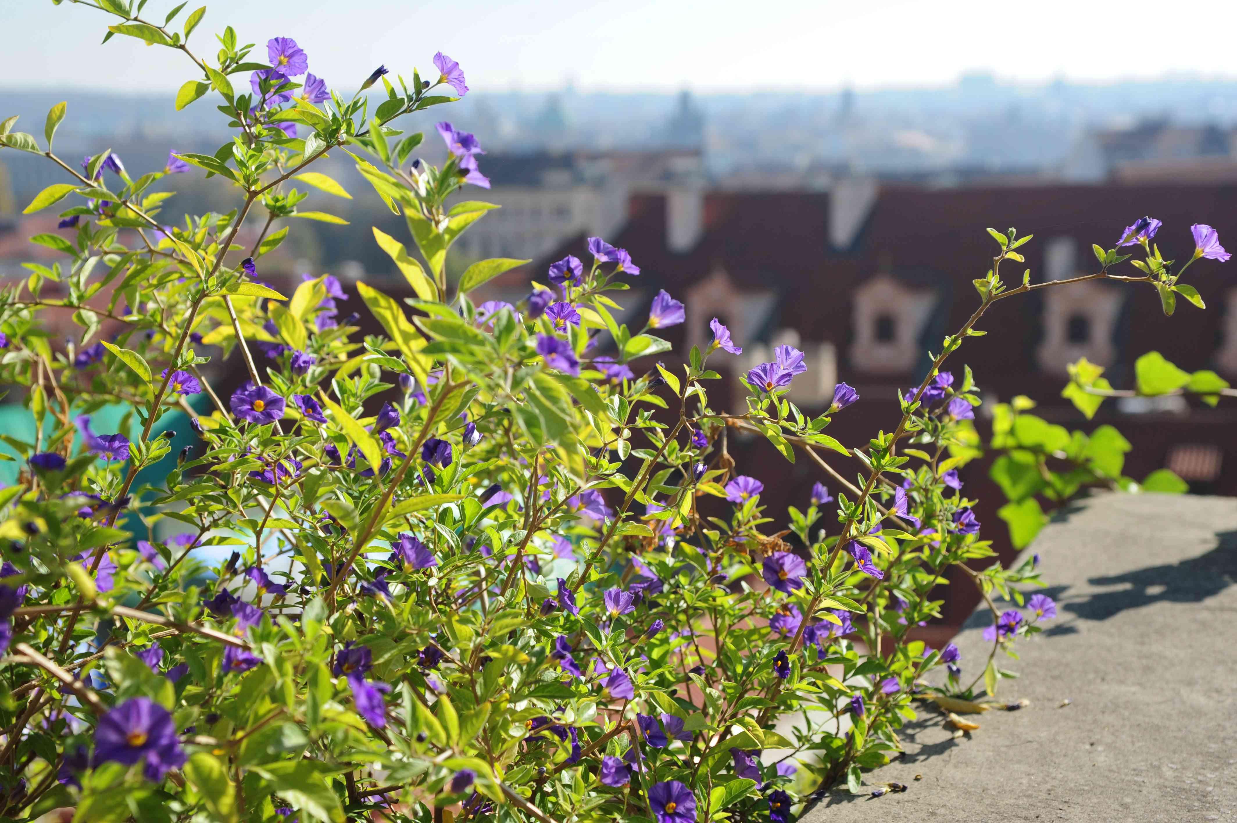 Blue potato bush plant with purple flowers on sunny ledge