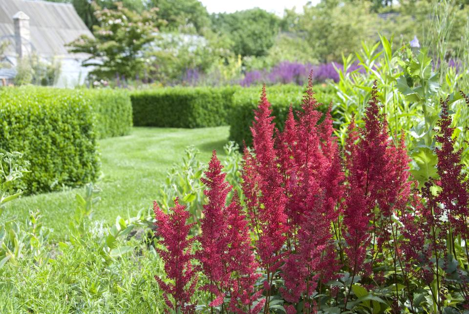 Pink false spirea (Astilbe) standing in an ornamental garden