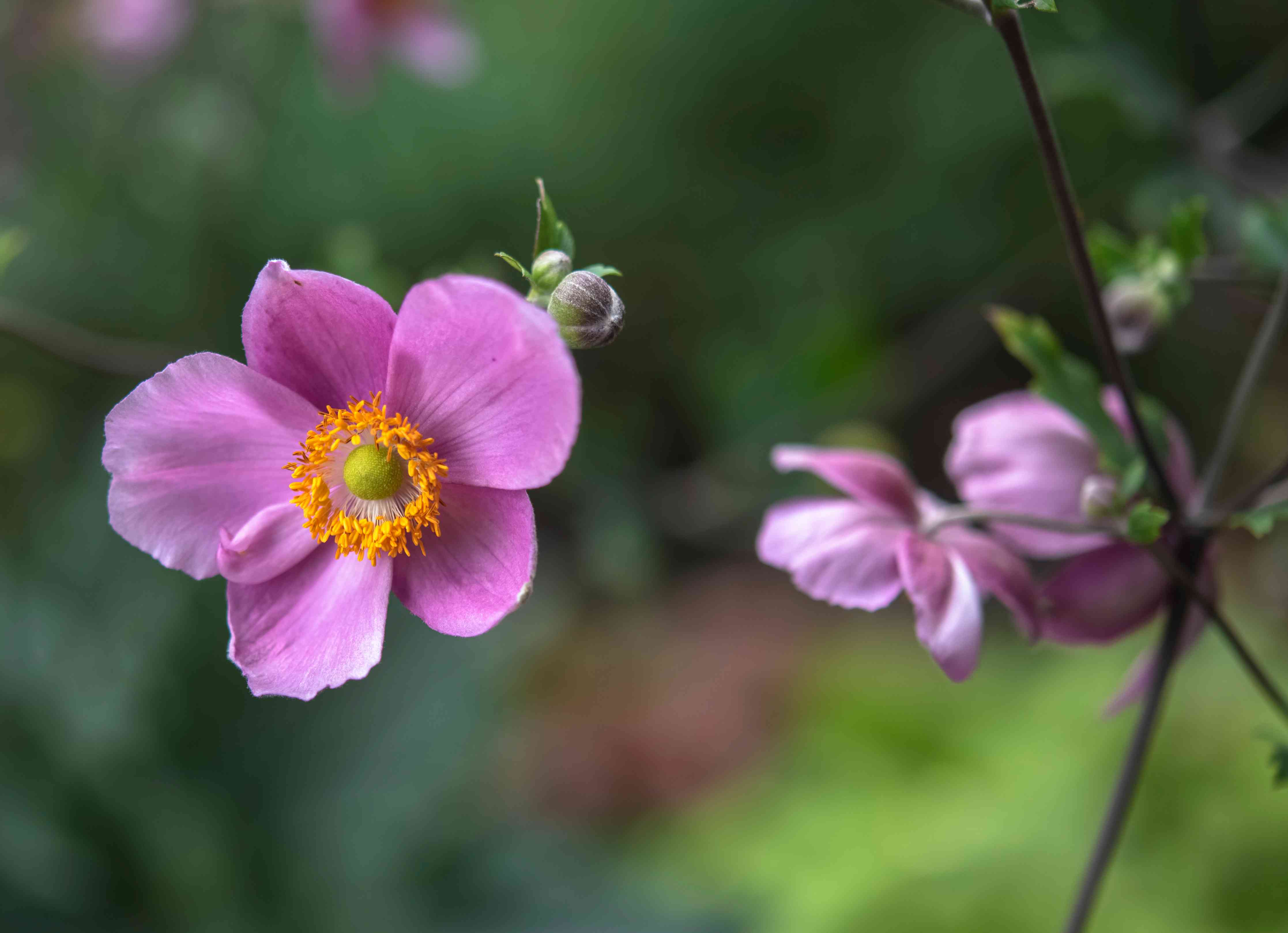 'Hadspen abundance' anemone flowers and buds with pink petals and yellow anthers