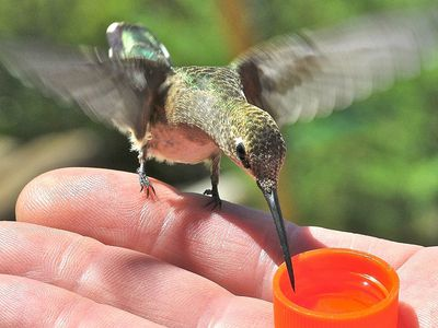 Tips For Hand Feeding Hummingbirds In Your Yard