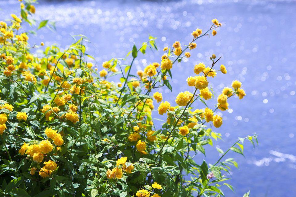 Kerria shrub blooming against aquatic background.