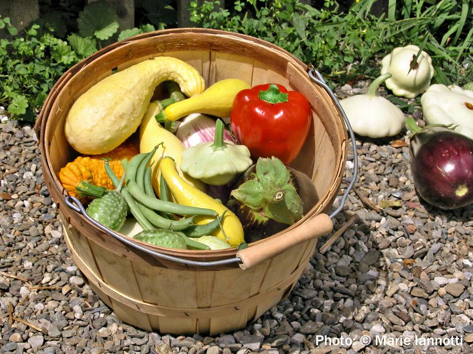 Basket of Home Grown Vegetables