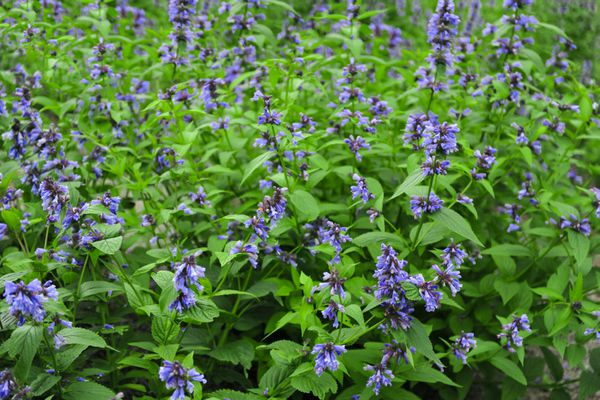 Catmint plant with small lavender-blue flowers on thin spikes above billowing foliage