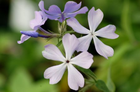 Woodland Phlox Native Flower For Dappled Shade Gardens
