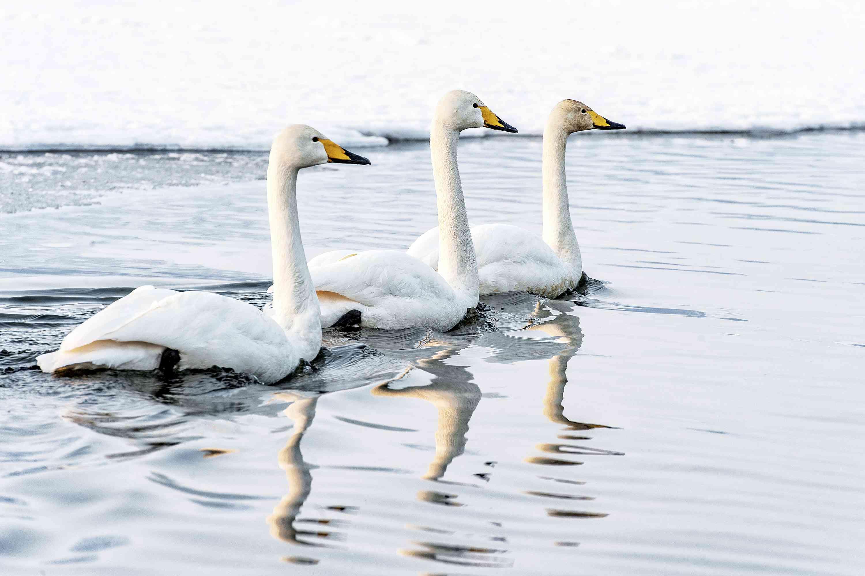 Three Tundra swans (Cygnus columbianus) swimming in water