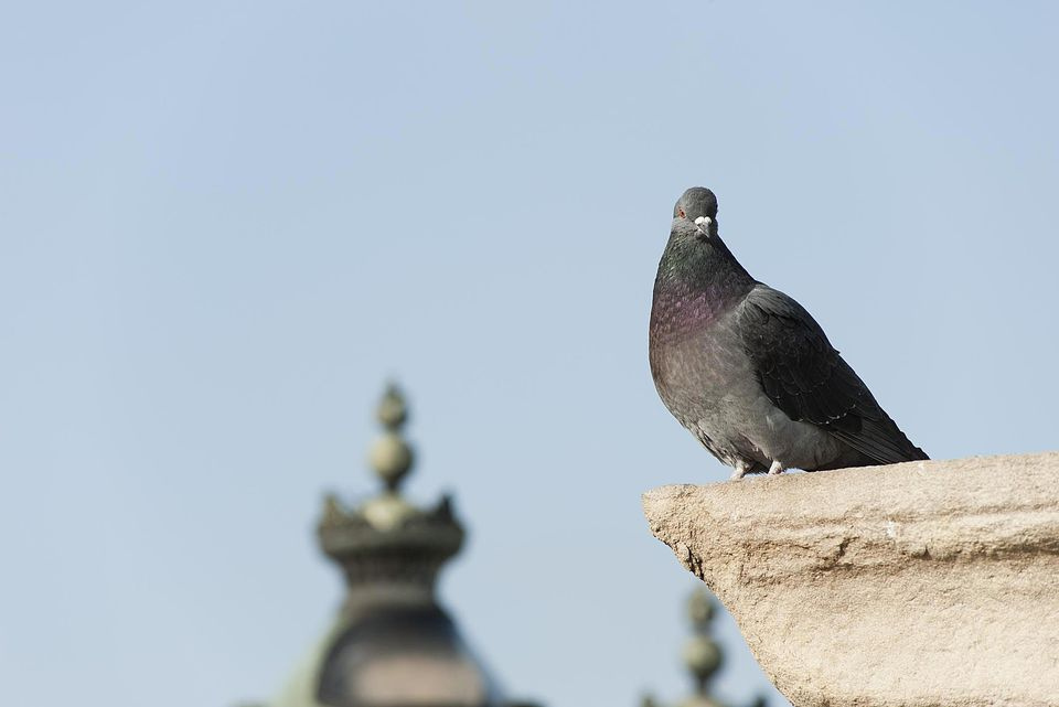 Pigeon standing on a roost.