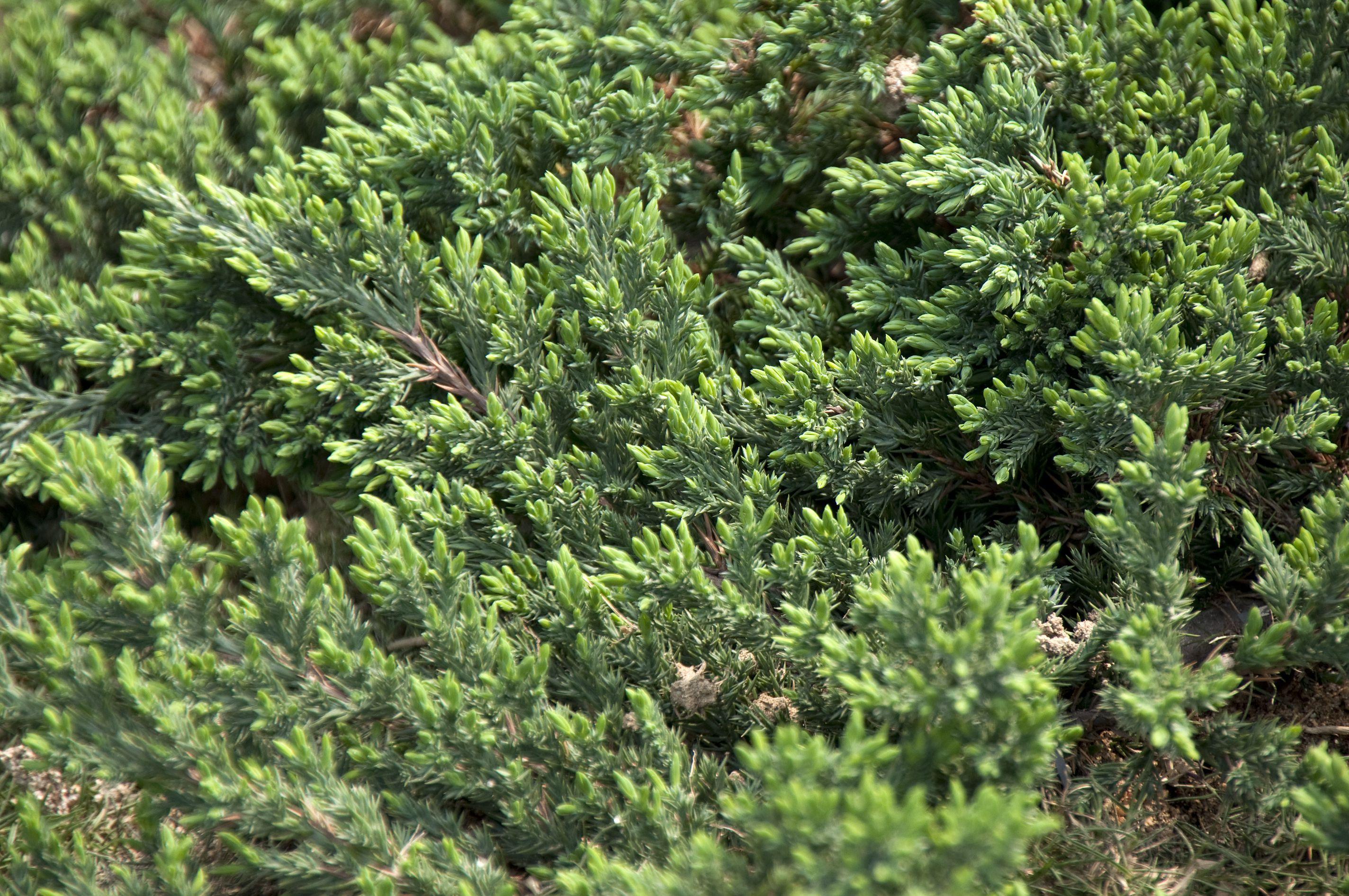 Creeping juniper ground cover.