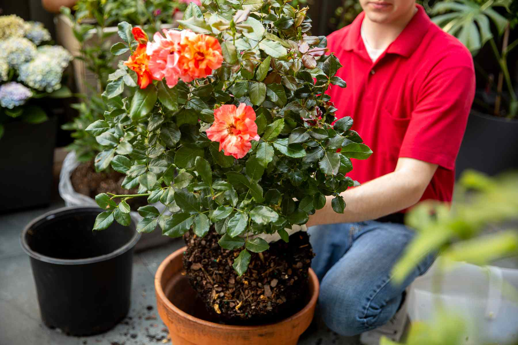 Potted rose bush with orange-red flowers placed into large clay pot
