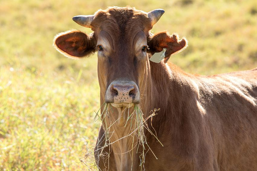 Large head of a Beef cattle with grass in its mouth looking at the camera