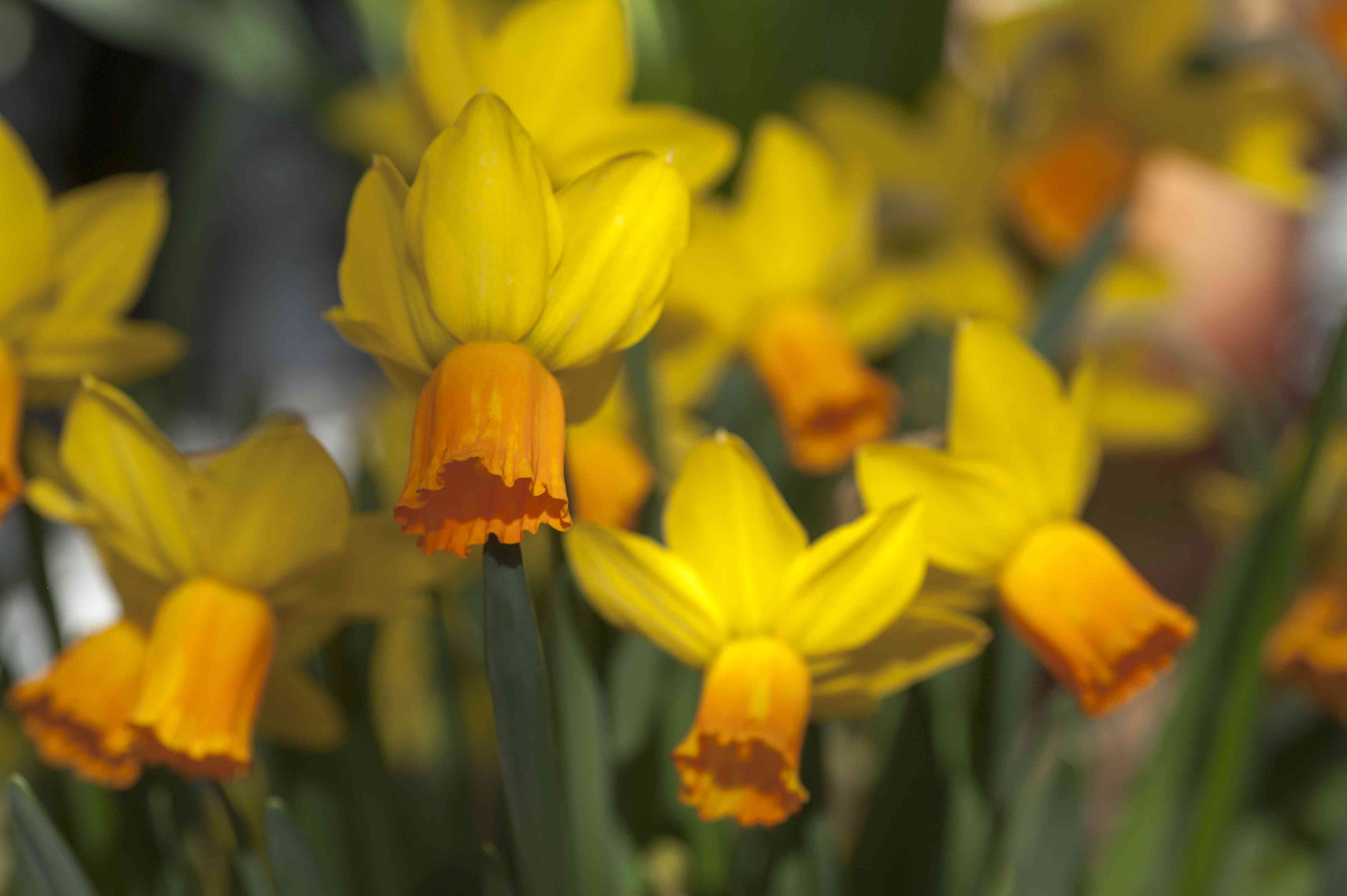 Cyclamineus daffodil with yellow swept-back flowers and orange bell