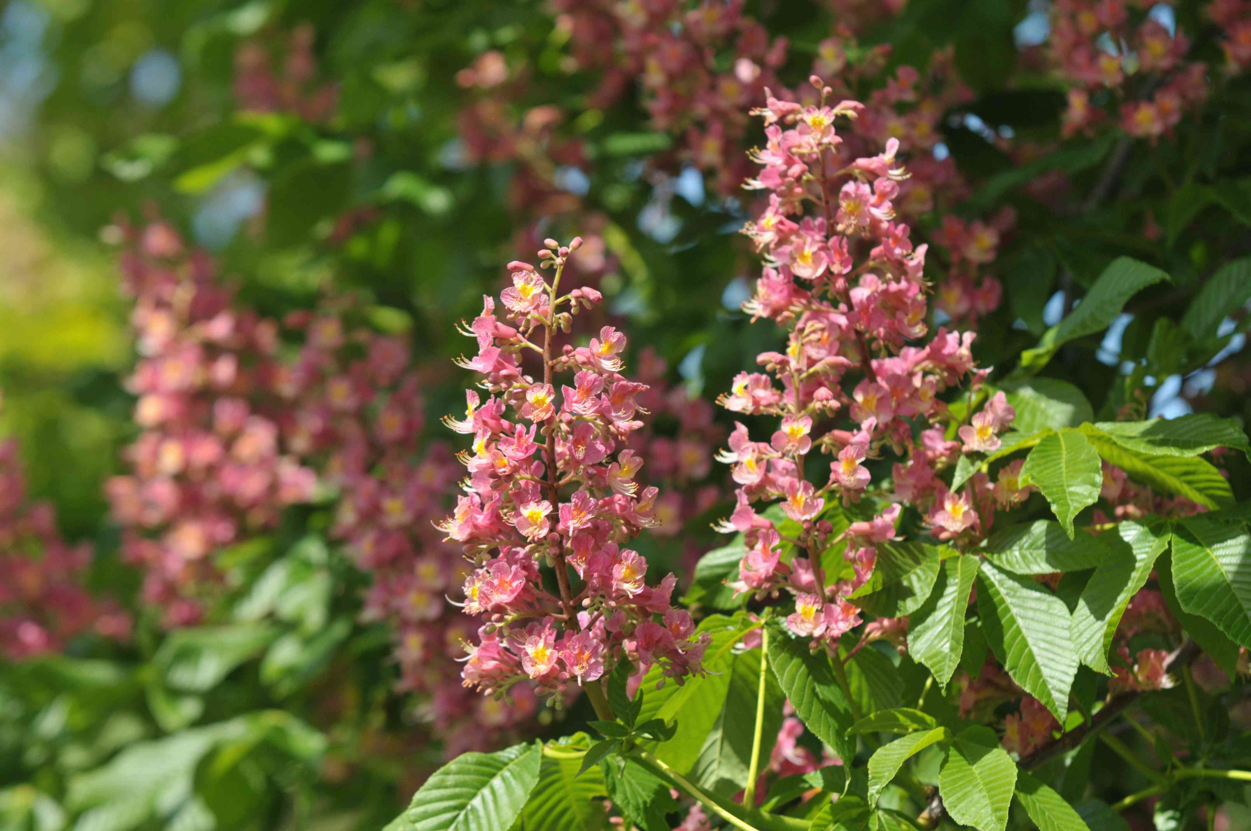 Red buckeye plant with light pink and yellow flower spikes on branches in sunlight
