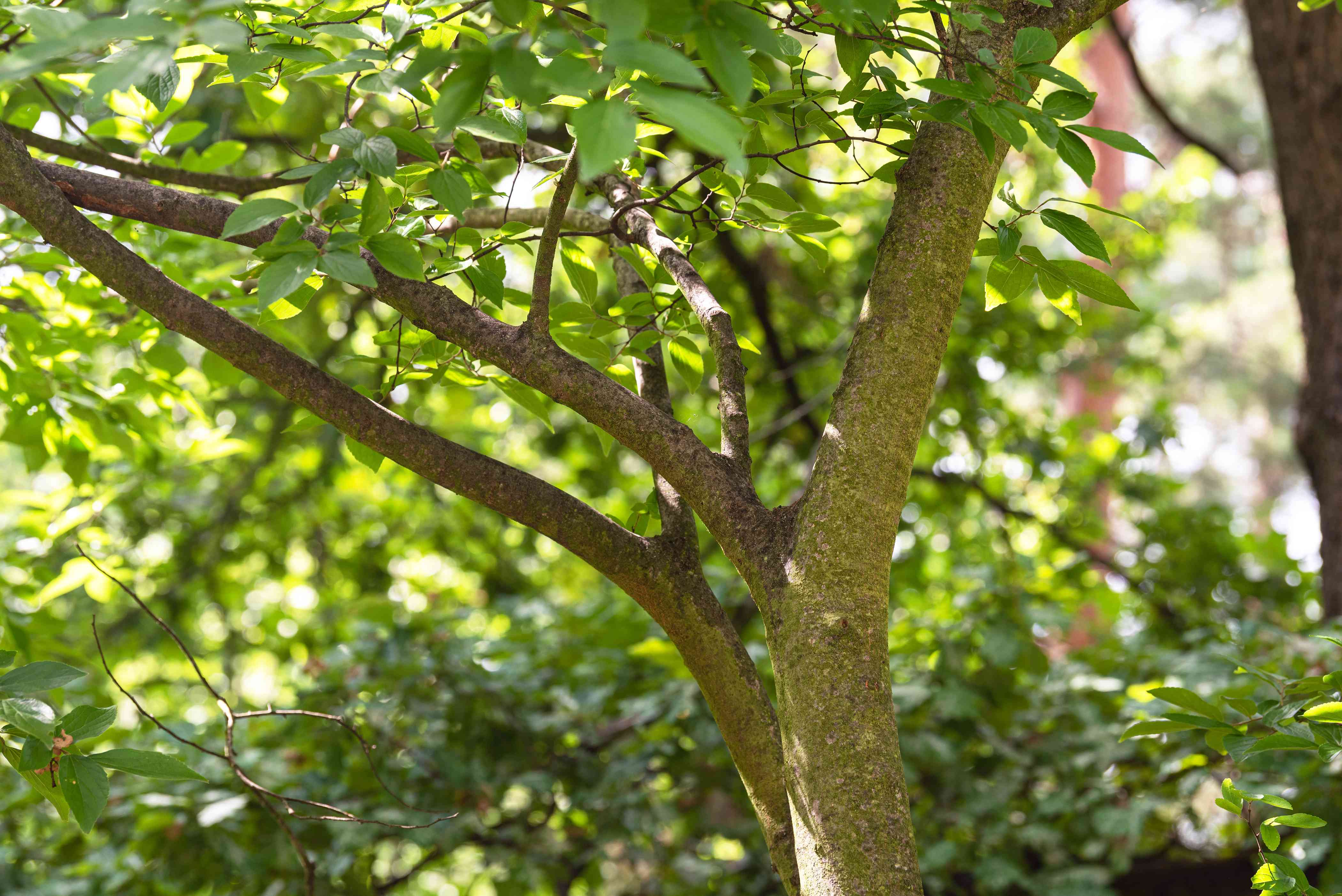 Netlead hackberry tree with a multi-stemmed trunk in wooded are