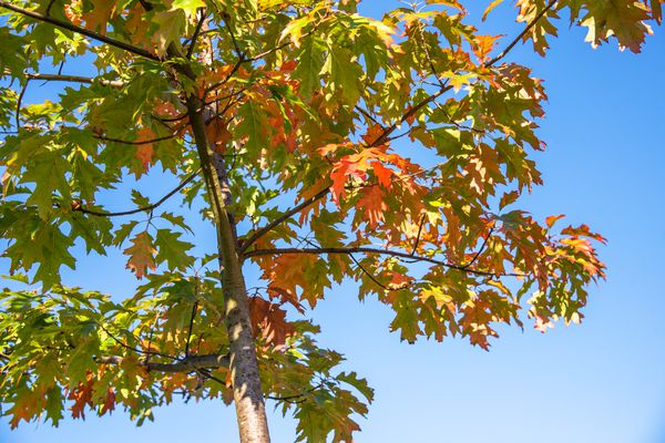 Red oak tree with light green and orange leaves against blue sky