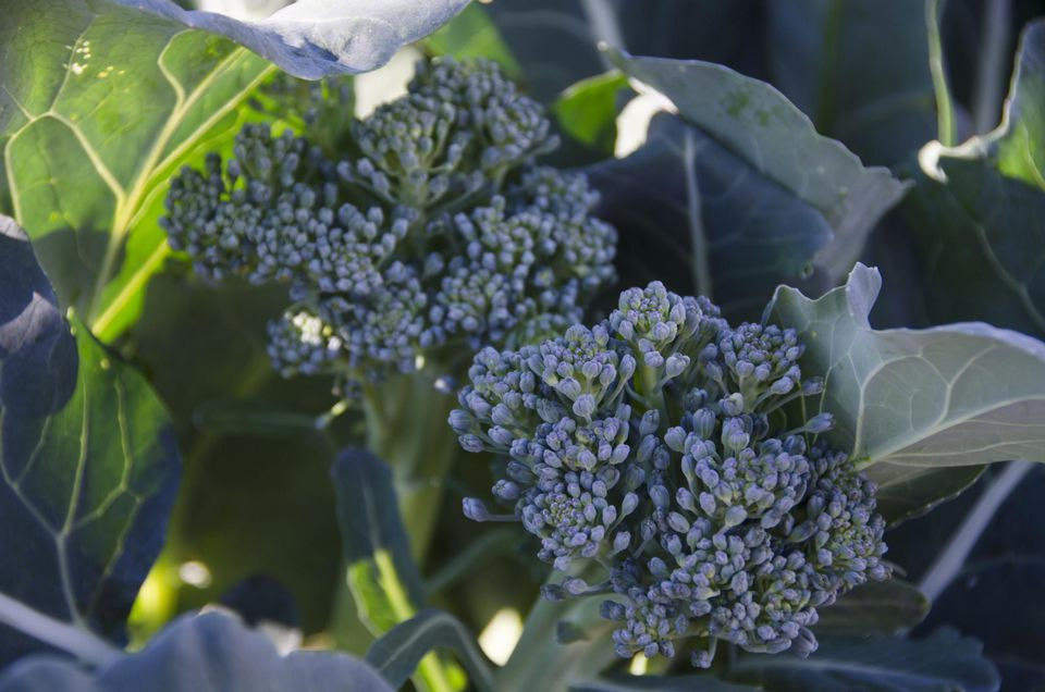 How to grow broccoli plants in the vegetable garden broccoli plant mightylinksfo