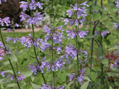 catmints nepeta easy growing drought hardy plants