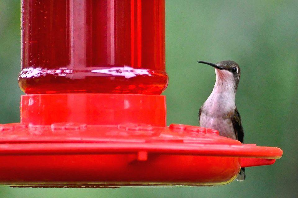 Red dye in hummingbird nectar hummingbird at red feeder forumfinder Choice Image