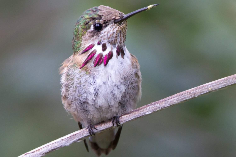 Hummingbird With Pollen