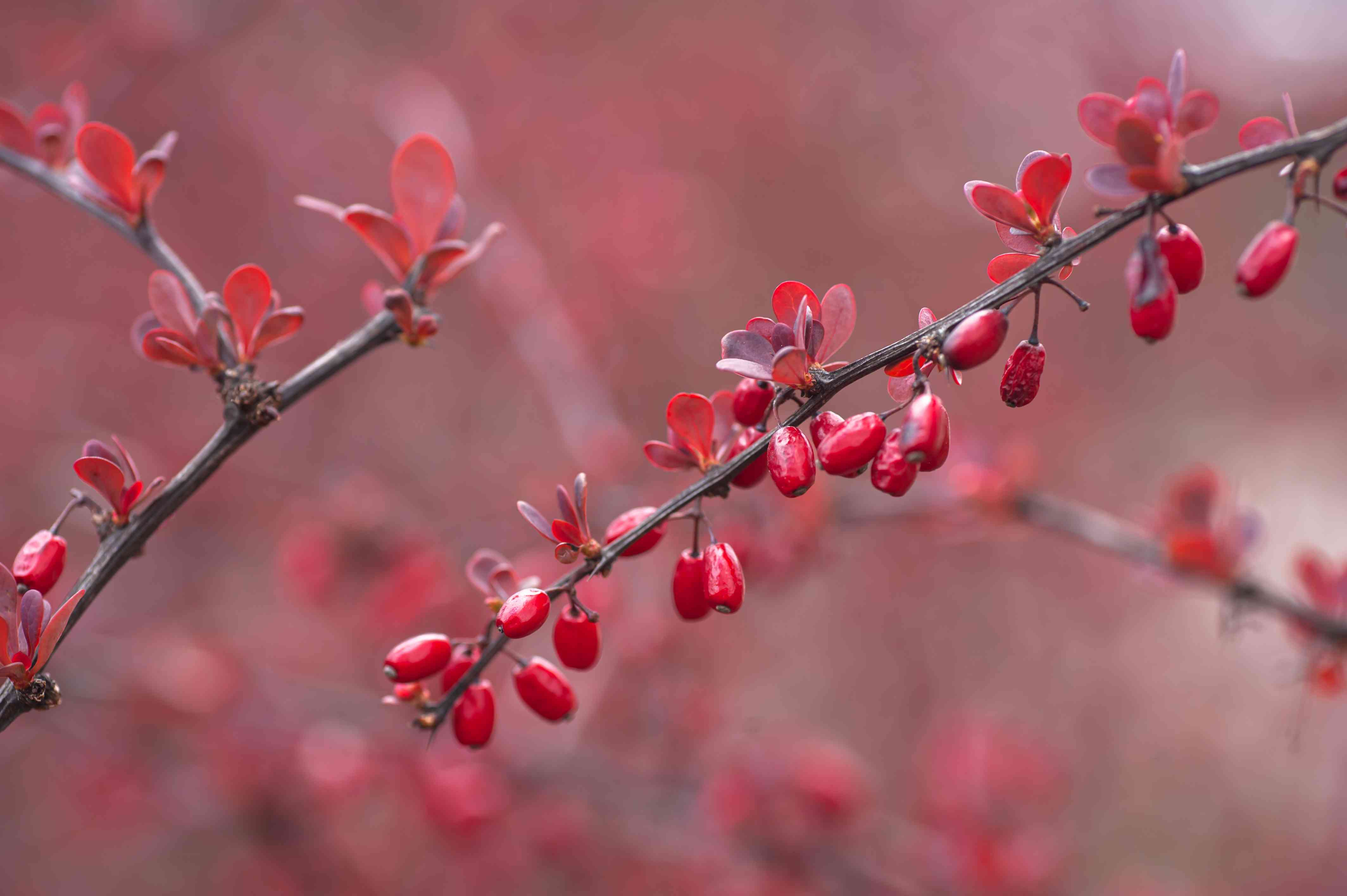 closeup of Japanese barberry