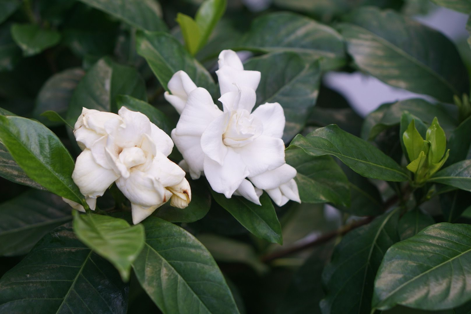 Arabian jasmine shrub with white ruffled flowers surrounded by dark green oval leaves closeup