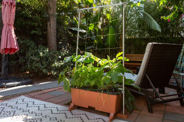 Vegetable plants growing in orange container with trellis in outdoor patio