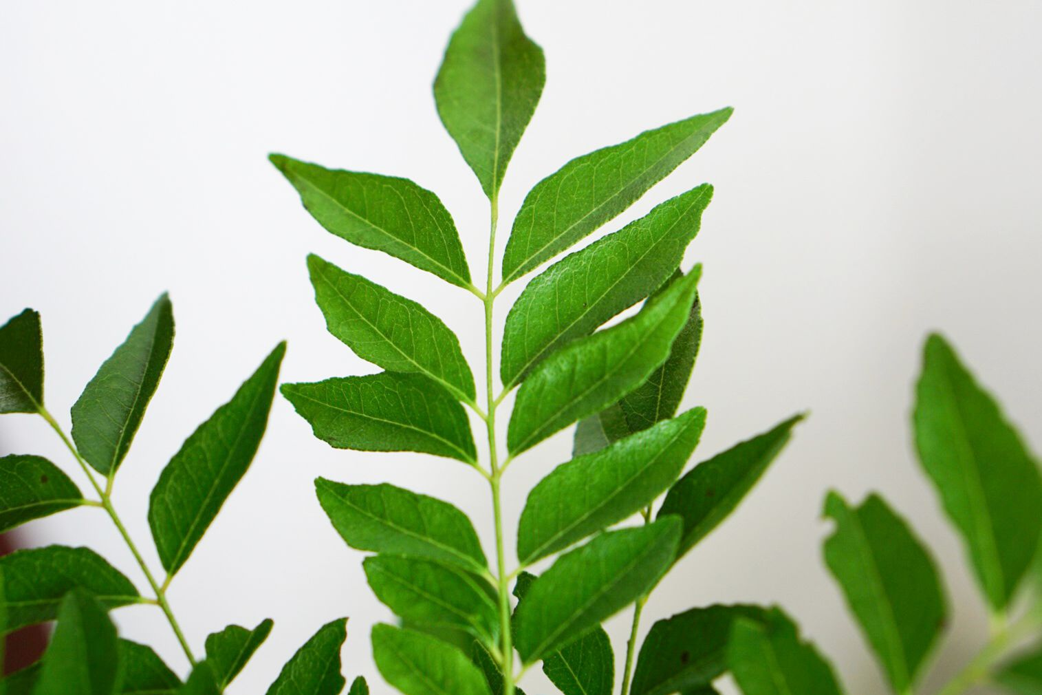 Curry tree plant branch with pinnate leaflets