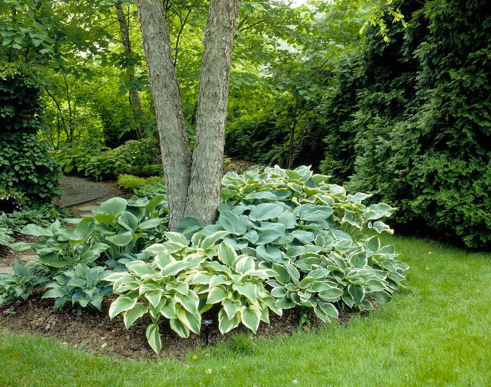hostas planted under a tree