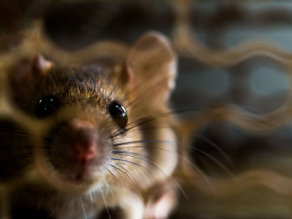 soft focus of the rat was in a cage catching a rat. the rat has contagion the disease to humans such as Leptospirosis, Plague
