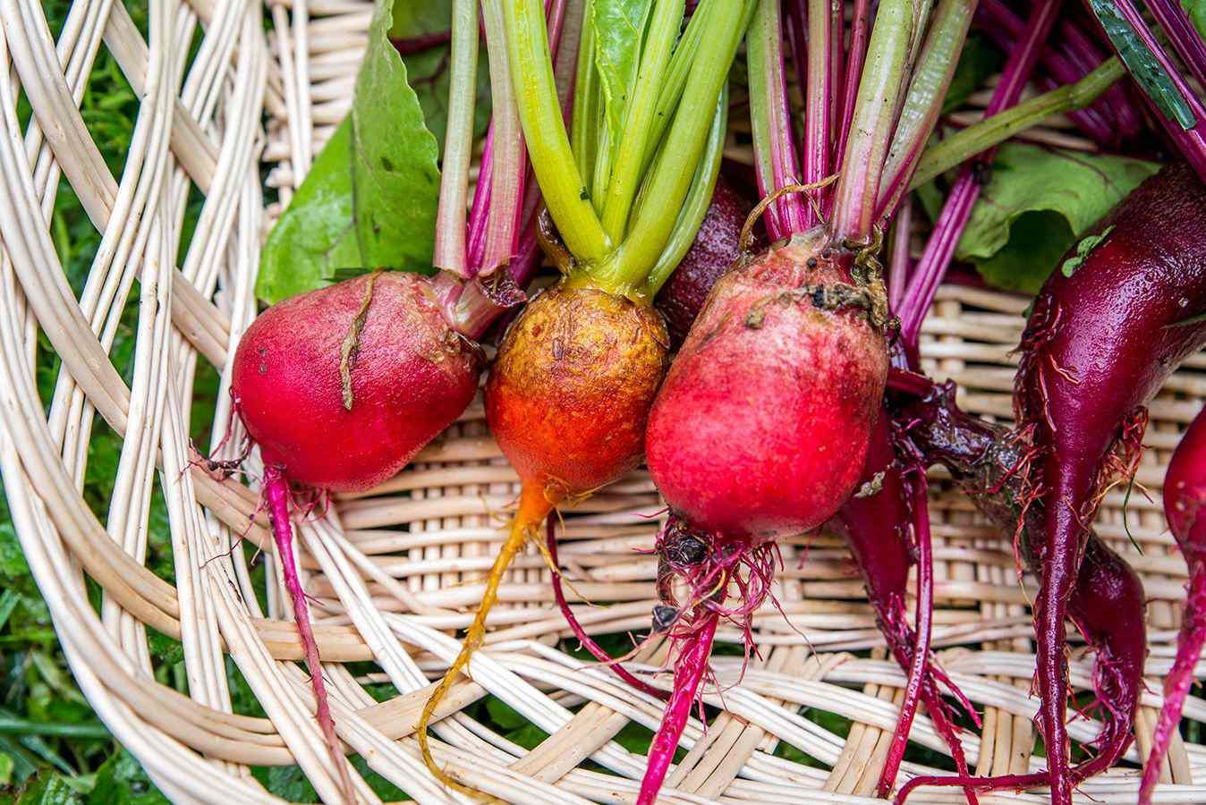 beet harvest in a basket
