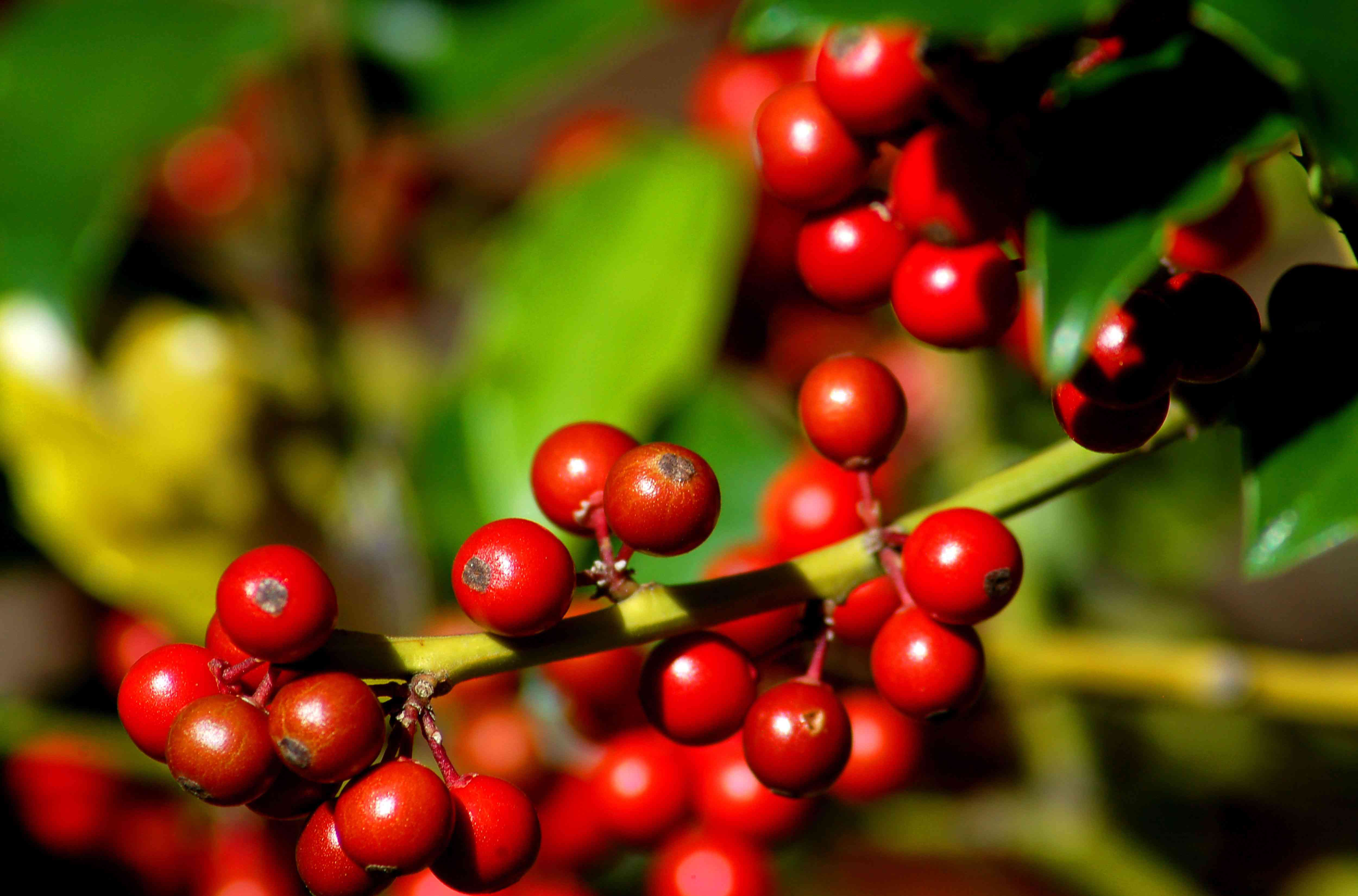 Blue holly shrub branch with bright red berries closeup