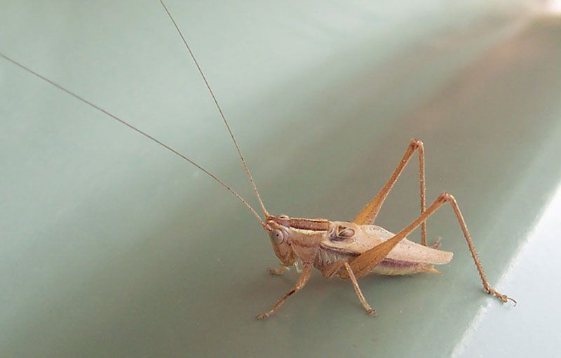 A closeup of a sitting cricket