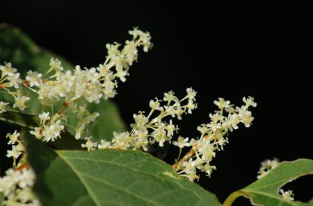 "Japanese knotweed blooms showing why the weed is called ""fleeceflower."""