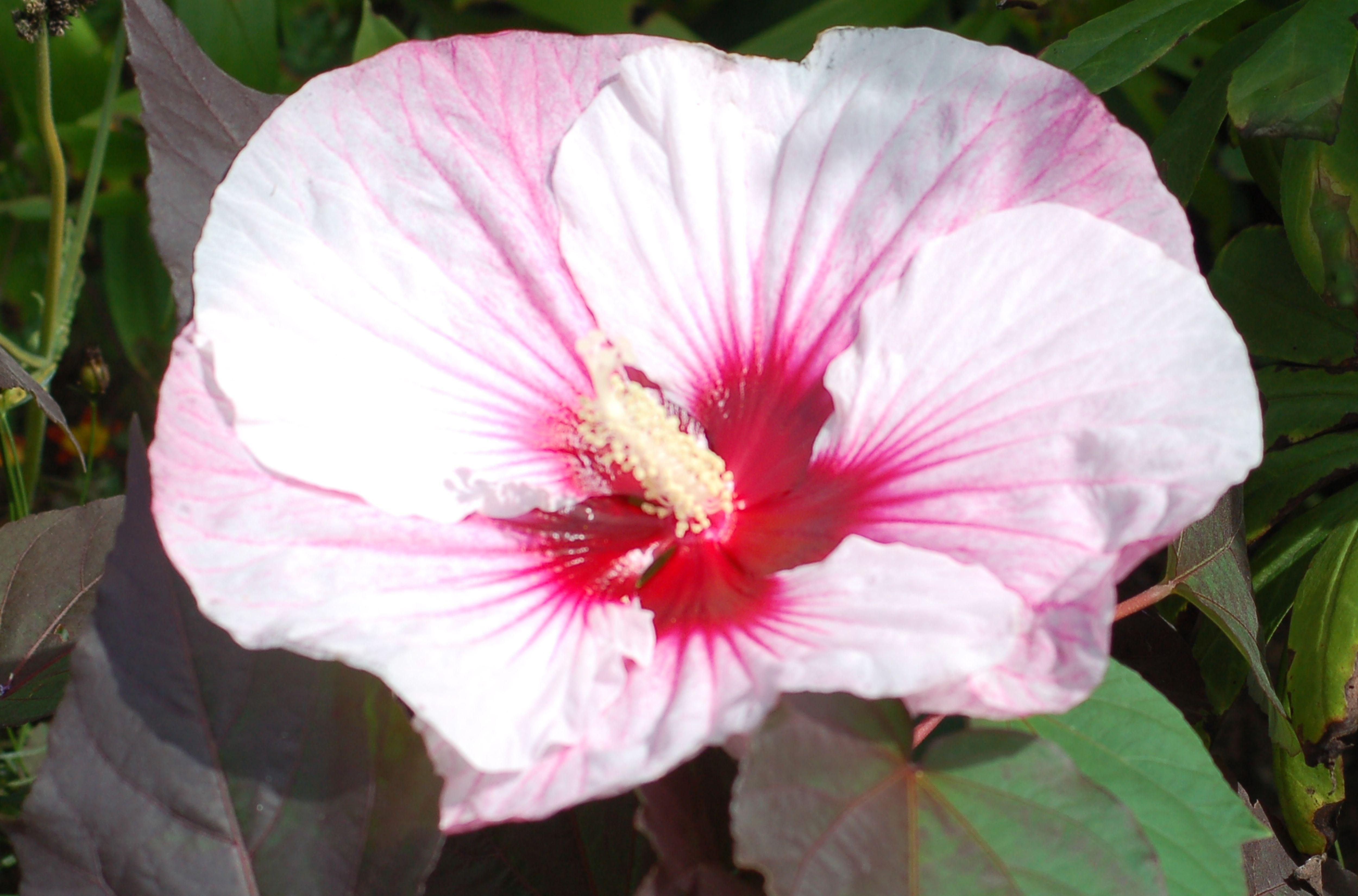 Grow Summerific Perfect Storm Hibiscus Rose Mallow