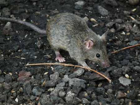 Rats and Mice: The Damage They Cause