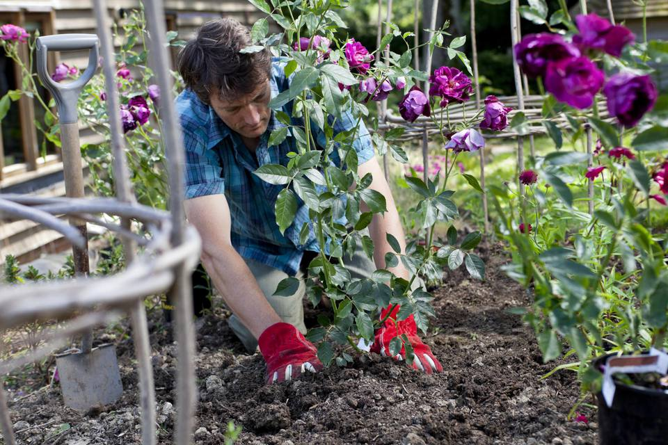 Man planting purple roses (Burgundy Ice) in a flower border bed