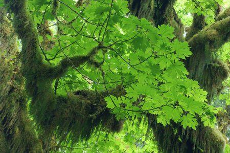 Growing The Big Leaf Maple Or Acer Macrophyllum