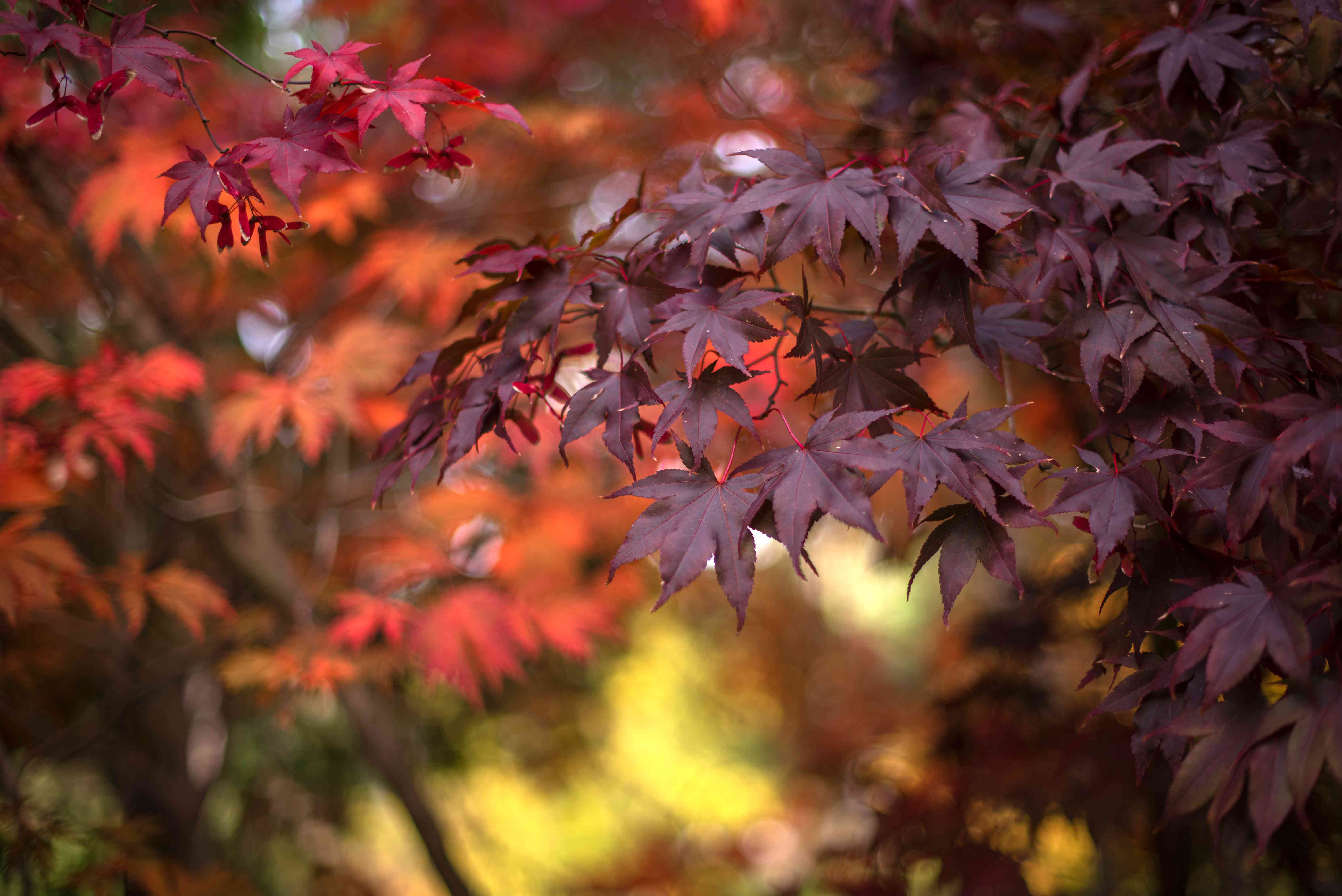 Bloodgood japanese maple tree with red and maroon leaves