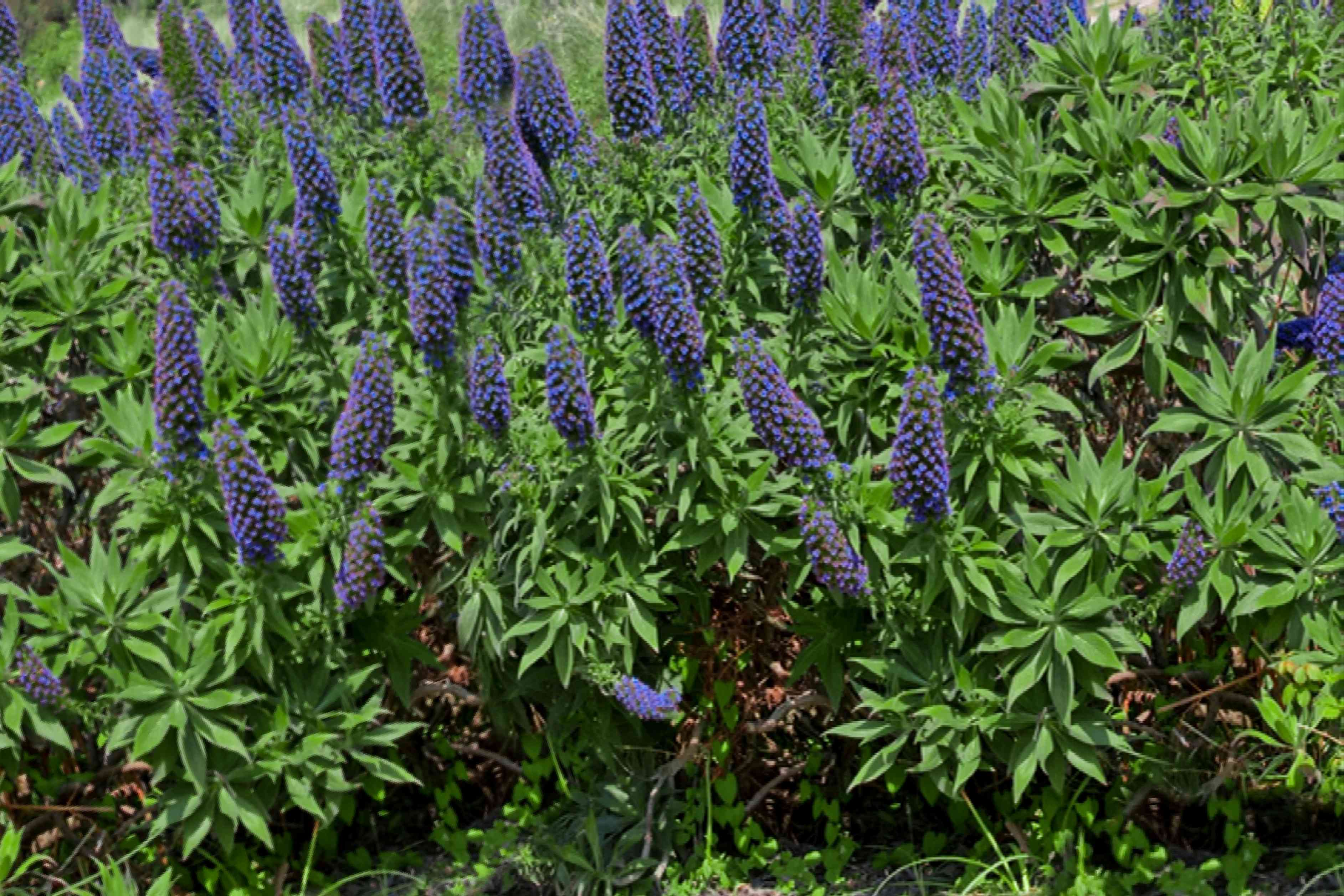Pride of Madeira shrub with dark purple cone-shaped flower panicles in between spiky leaves