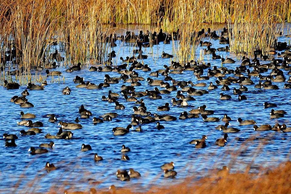 Flock of American Coots