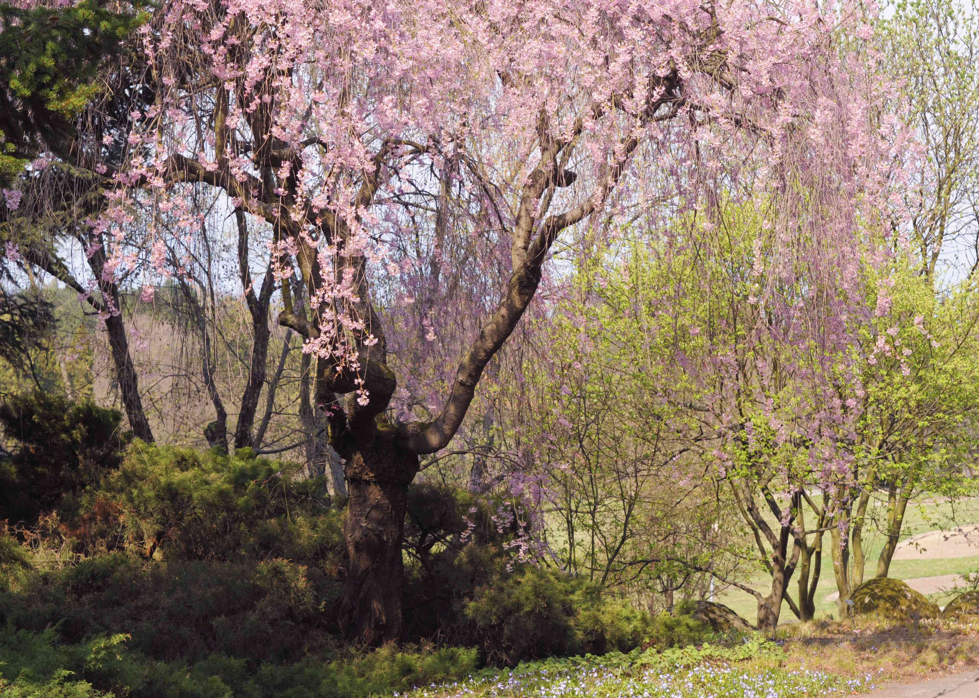 Japanese weeping cherry tree with long branches with small pink flowers