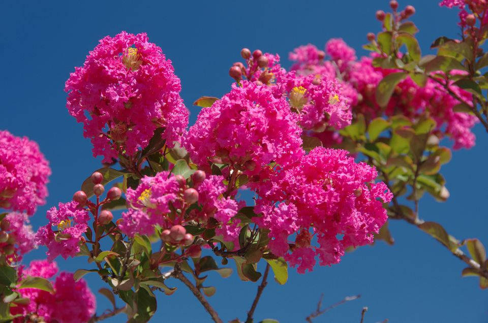 Crape myrtle tree flowering in pink.