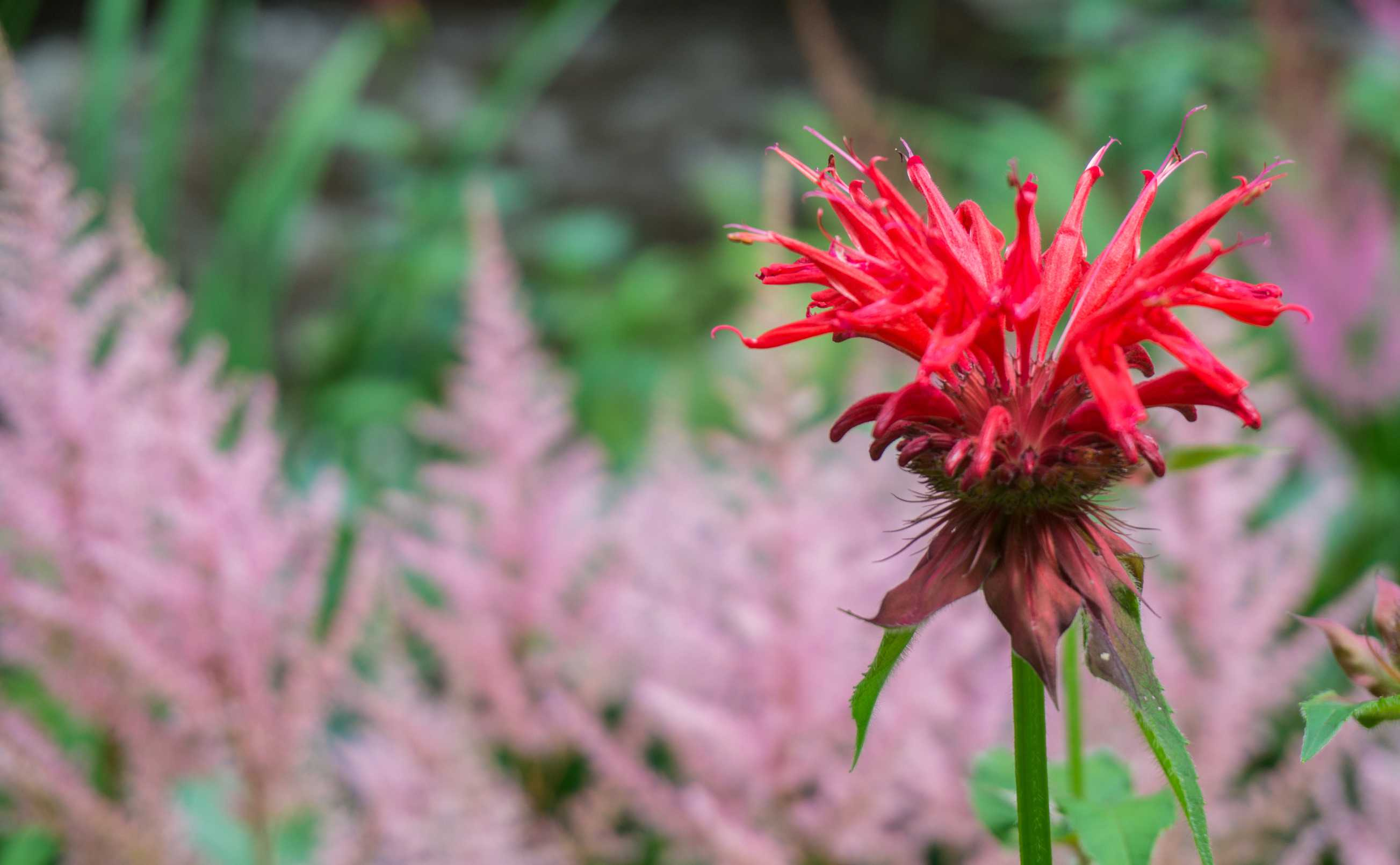 Red bee balm flower.