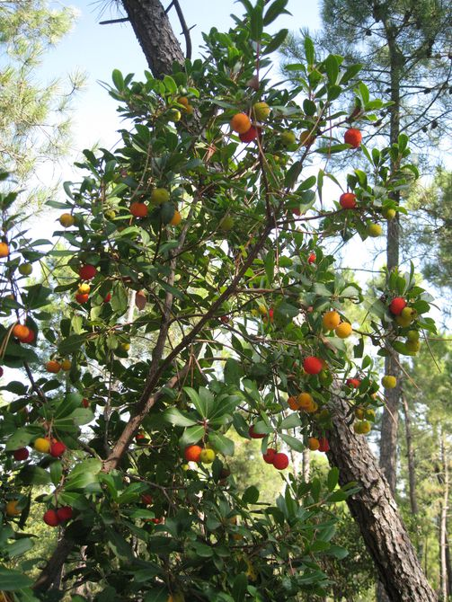 Un madroño con fruta