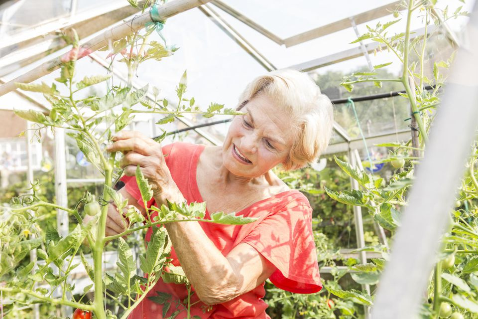 Senior woman pruning tomato plants.