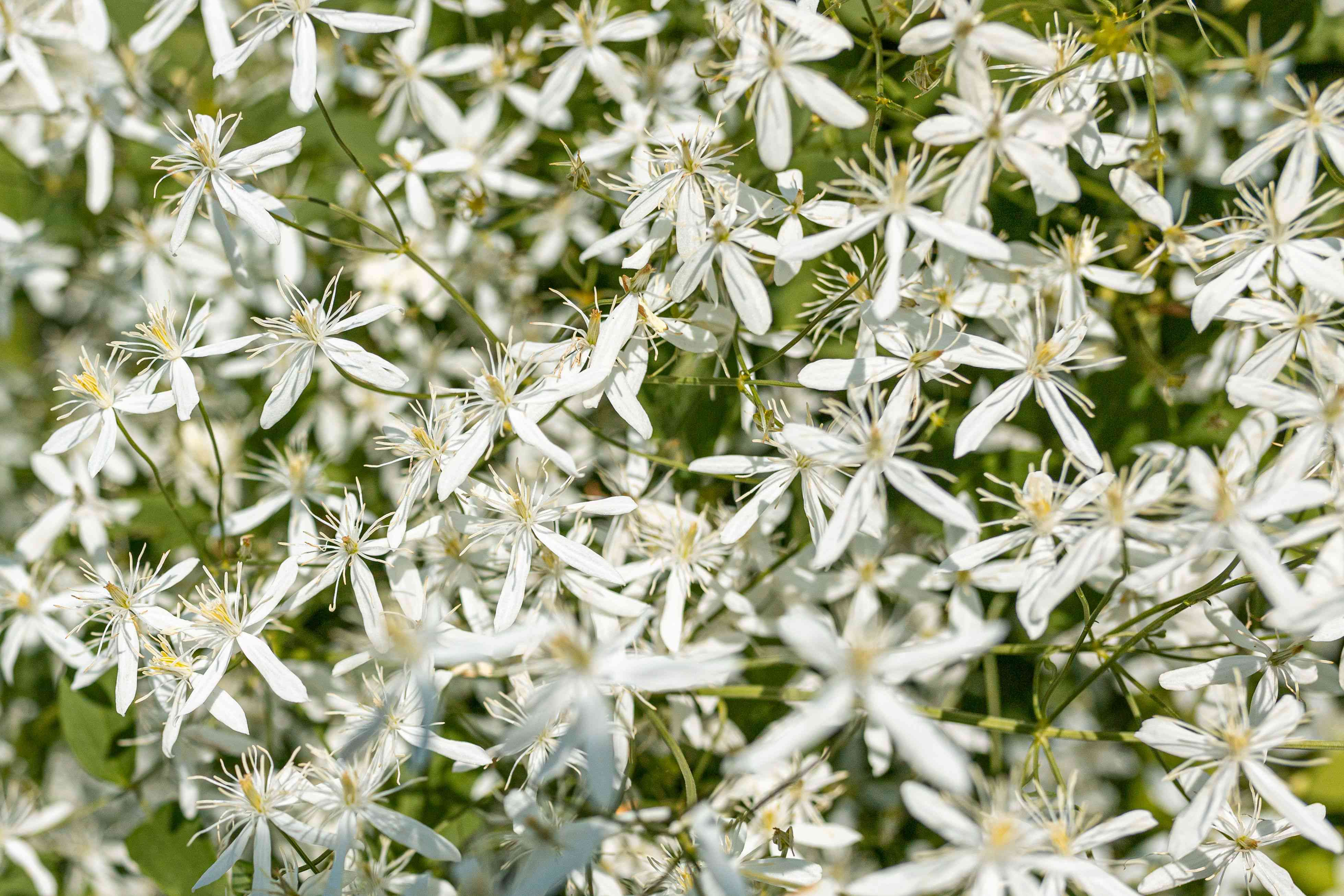 Sweet autumn clematis vine with small white flowers and fuzzy seed heads closeup