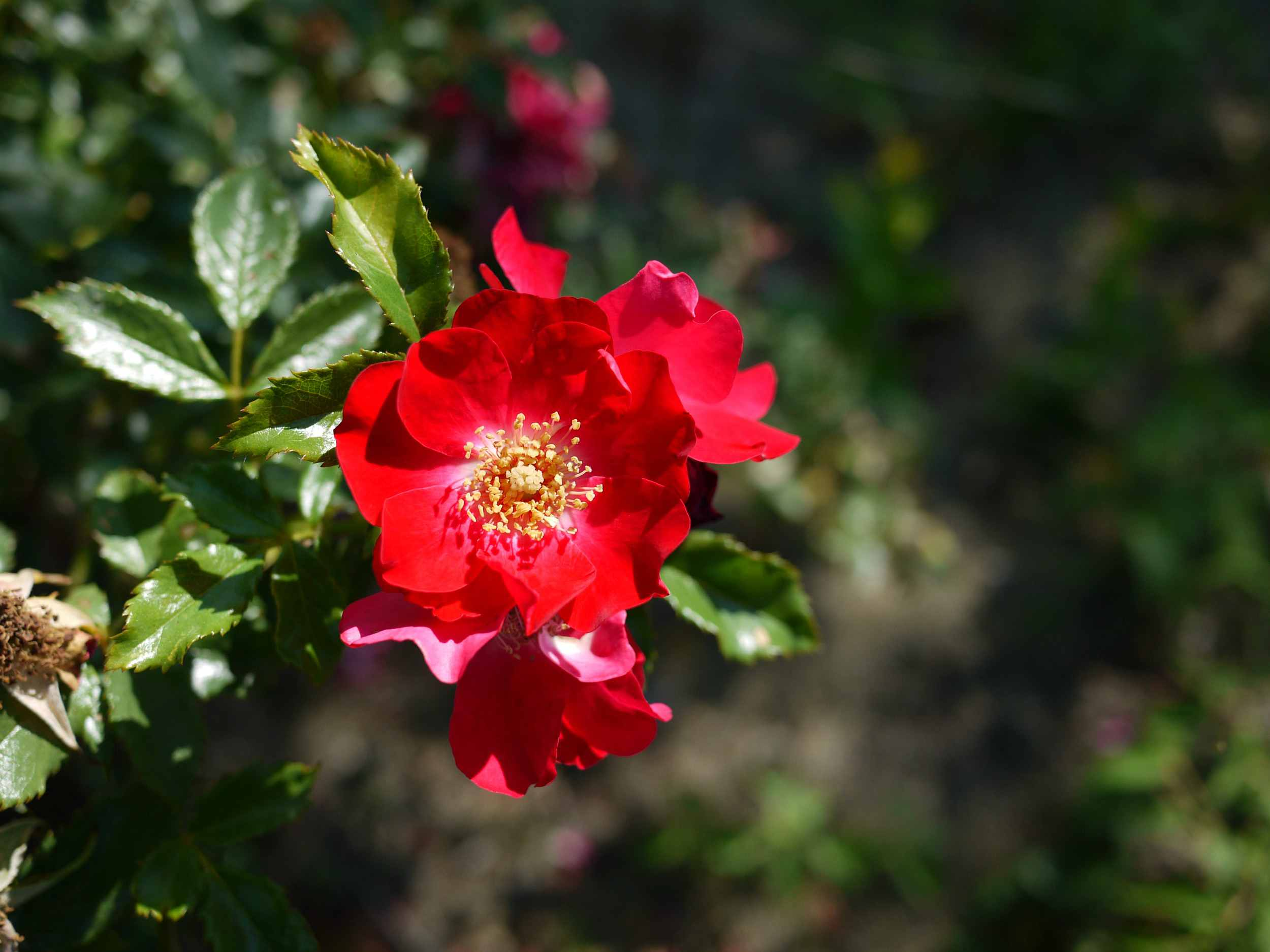 red altissimo rose