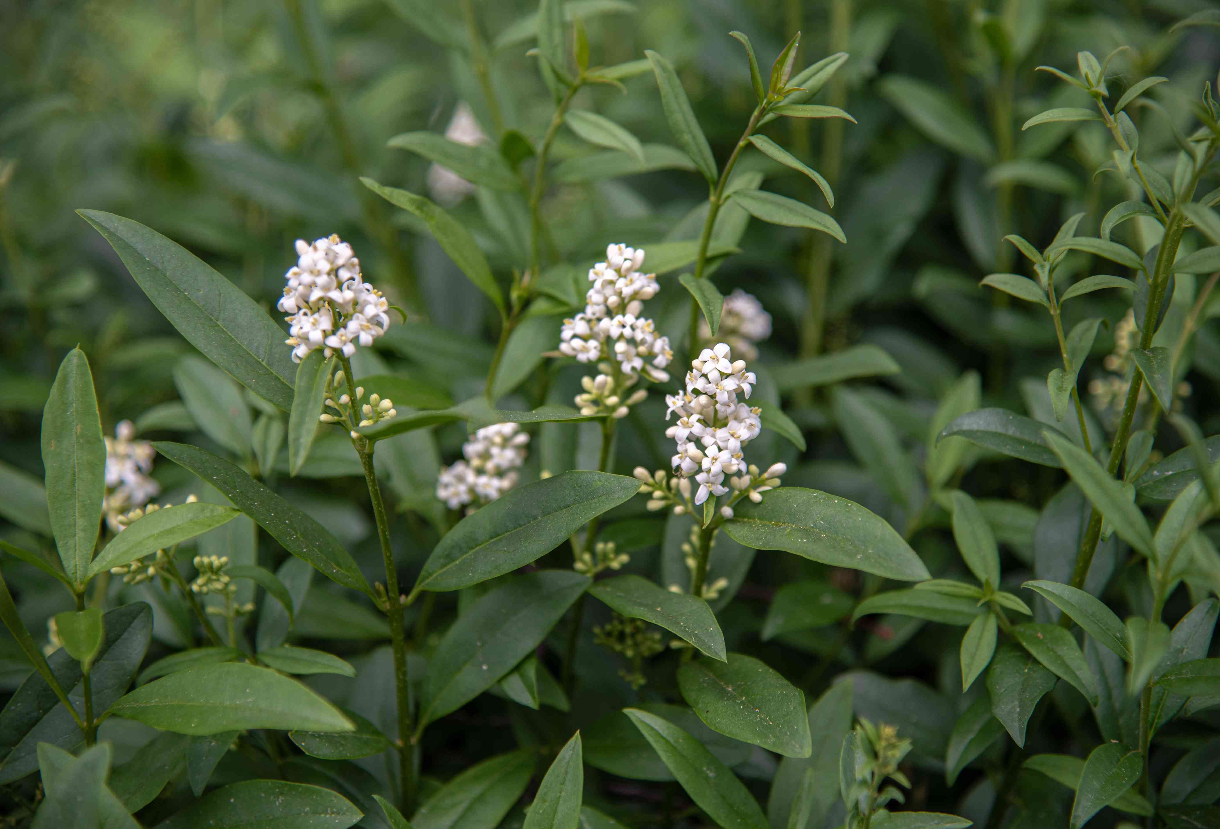 Privet stems with oval-shaped leaves and small white flower panicles