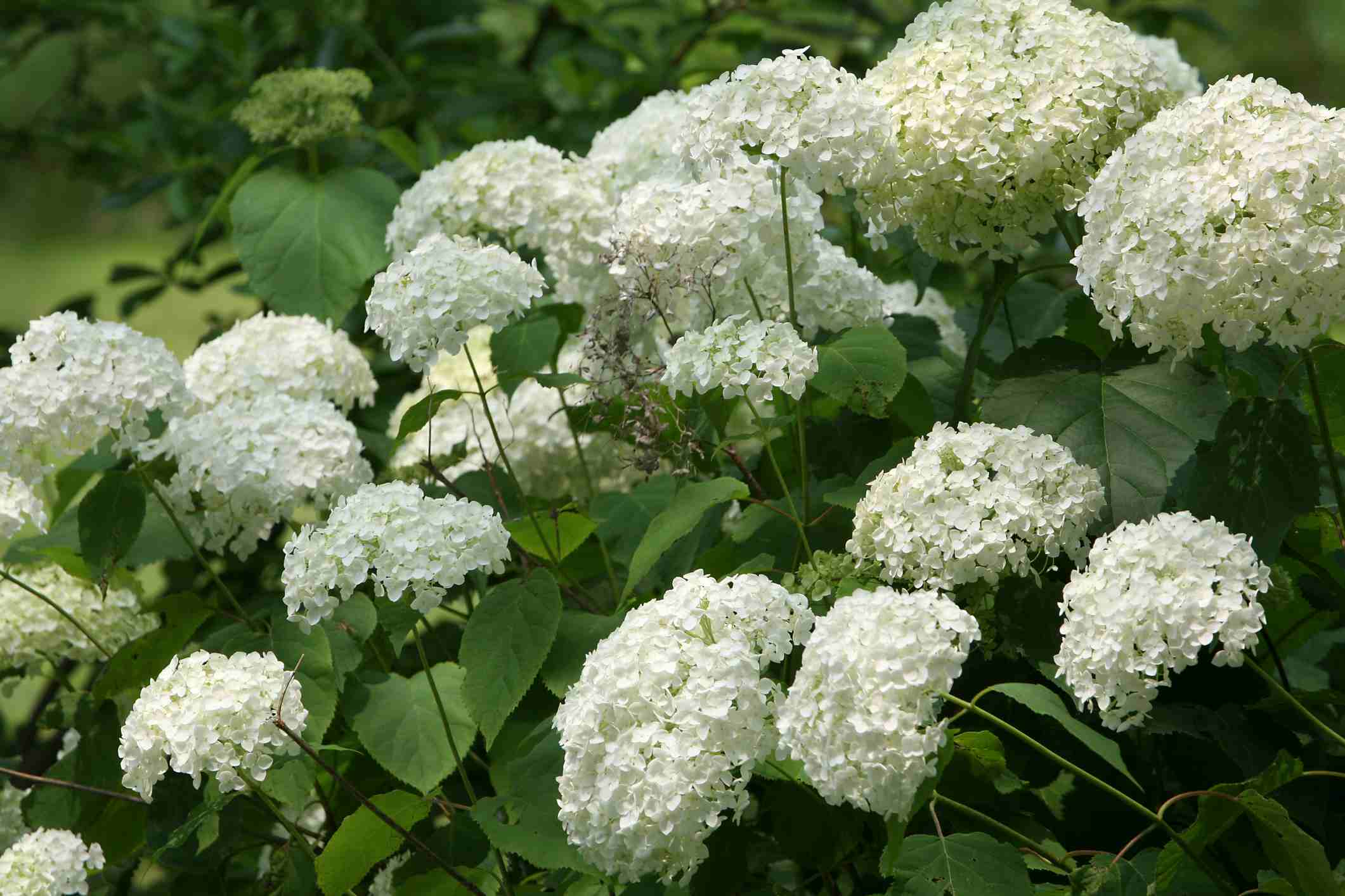 10 best shrubs with white flowers mightylinksfo